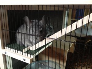 chinchillas1